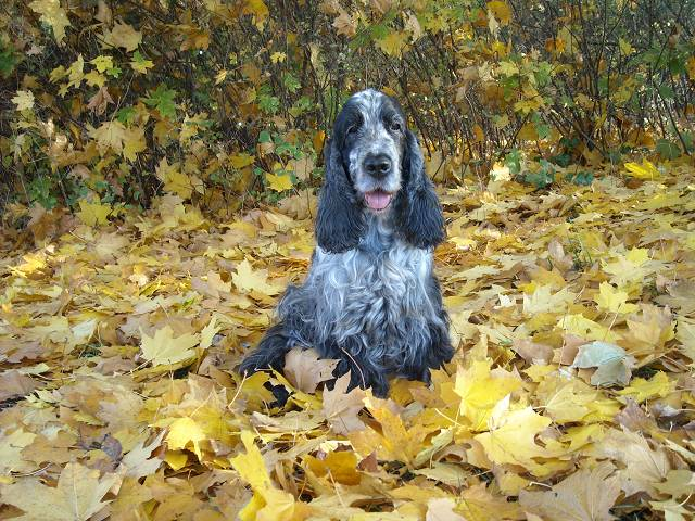 The dog looks beautiful against the background of yellow autumn leaves